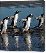 Gentoo Penguins Walking Canvas Print