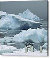 Gentoo Penguins With Icebergs Antarctica Canvas Print