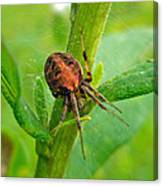 Genus Araneus Orb Weaver Spider - Brown And Orange Canvas Print