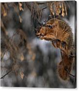 George Eating Maple Seeds In Winter Canvas Print