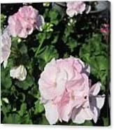 Geranium In Pink Canvas Print