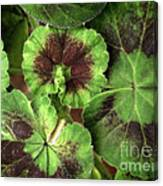 Geranium Leaves Canvas Print