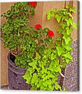 Geraniums And Ivy Canvas Print