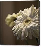 Gerber Daisy Flower  Canvas Print