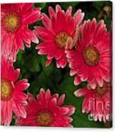 Gerber Daisies Cluster Canvas Print