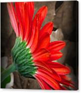 Gerber Daisy Bashful Red Canvas Print