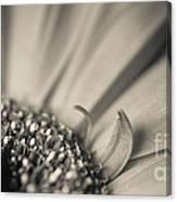 Gerbera Blossom - Bw Canvas Print