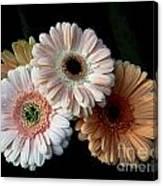 Gerbera Daisy   7302 Canvas Print