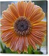 Gerbera Daisy Covered In Frost Canvas Print