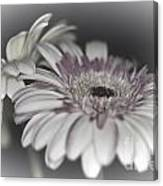 Gerbera Dream 1 Canvas Print