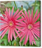 Gerbera Jamesonii / Pink Daisy Flowers Canvas Print