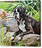 German Boxer Male Dog On A Stone