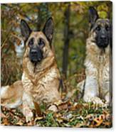 German Shepherd Dogs Canvas Print