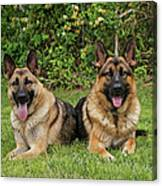 German Shepherds - Mother And Son Canvas Print