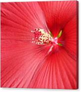 Getting Intimate With China Rose Canvas Print