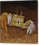 Ghost Crab 6 11/01 Canvas Print