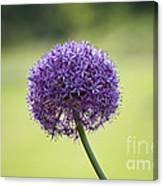 Giant Allium Flower Canvas Print