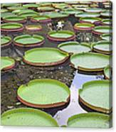 Giant Amazonian Water Lily Pads Canvas Print