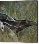 Giant Anteater And  Young In Cerrado Canvas Print