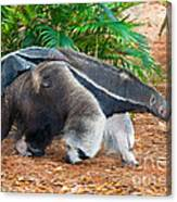 Giant Anteater Mother And Baby Canvas Print
