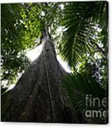 Giant Cashew Tree Amazon Rainforest Brazil Canvas Print