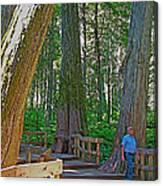 Giant Cedar Grove On Giant Cedars Trail In Mount Revelstoke Np-bc Canvas Print