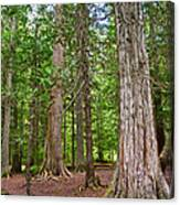 Giant Cedars On Trail Of The Cedars In Glacier Np-mt Canvas Print