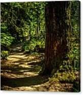 Giant Douglas Fir Trees Collection 2 Canvas Print