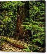 Giant Douglas Fir Trees Collection 3 Canvas Print