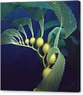 Giant Kelp Macrocystis Pyrifera Detail Canvas Print