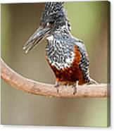 Giant Kingfisher Megaceryle Maxima Canvas Print