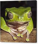 Giant Monkey Frog  Venezuela Canvas Print