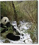 Giant Panda Eating Bamboo Wolong China Canvas Print