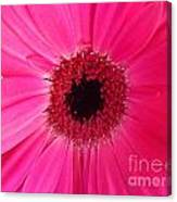 Flower Photography - Giant Pink Gerbera Daisy Canvas Print