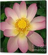 Giant Pink Lotus Canvas Print