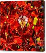 Giant Poinciana Blooms Canvas Print