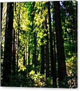 Giant Redwood Forest Canvas Print