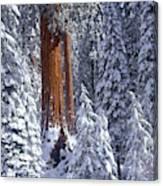 Giant Sequoia Trees Sequoiadendron Canvas Print