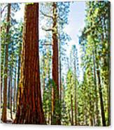 Giant Sequoias In Mariposa Grove In Yosemite National Park-california Canvas Print
