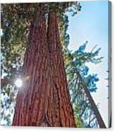 Giant Sequoias Canvas Print