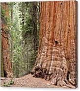 Giant Sequoias Canvas Print