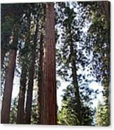 Giant Sequoias - Yosemite Park Canvas Print