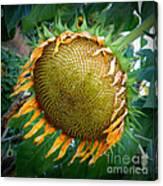Giant Sunflower Drama Canvas Print