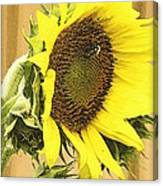 Giant Sunflower With Buds Canvas Print