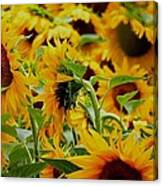 Giant Sunflowers Canvas Print