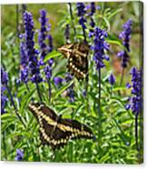 Giant Swallowtail Butterfly Couple Canvas Print