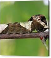 Giant Swallowtail Caterpillar Canvas Print