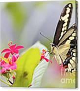 Giant Swallowtail II Canvas Print