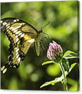 Giant Swallowtail On Clover 2 Canvas Print