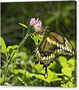 Giant Swallowtail On Clover 3 Canvas Print